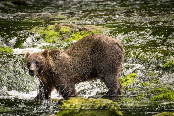 Aug-17-Brown Bears on Chicagof Island-10