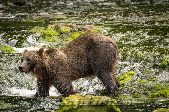 Aug-17-Brown Bears on Chicagof Island-11